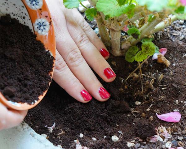 Fortifier plantes avec marc cafe